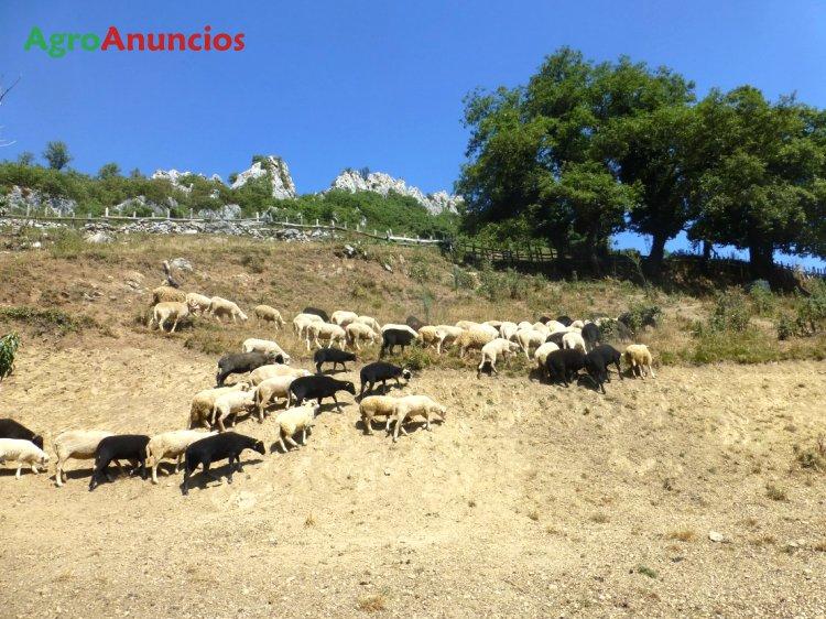 AgroAnuncios es - Venta de Terneros de carne y corderos
