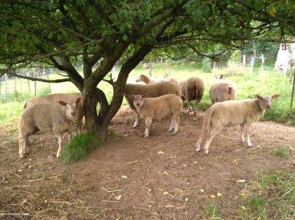 AgroAnuncios es - Corderos  Corderos en Asturias