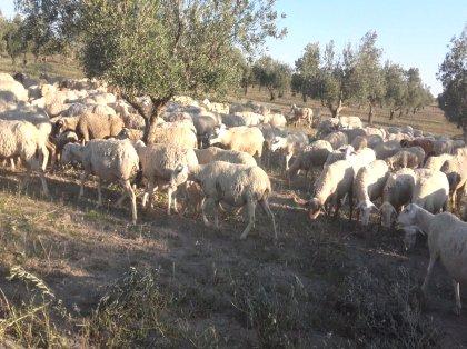 Agroanuncioses Ovejas Ovejas En Murcia Ganado Ganado En En