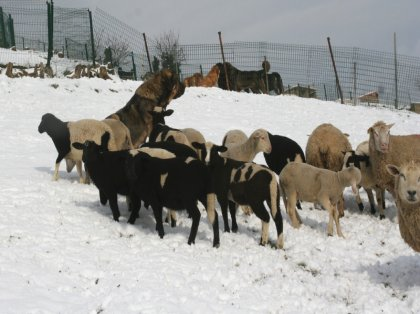 AgroAnuncios es - Corderos  Corderos en Asturias  Ganado