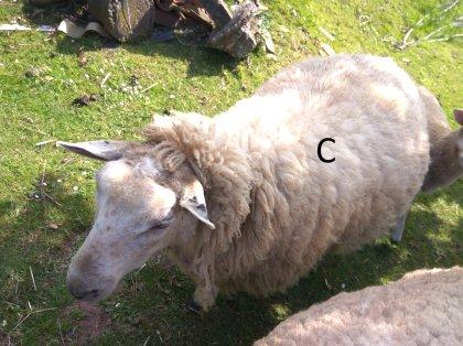 AgroAnuncios es - Cordero  Cordero en Asturias  Ganado