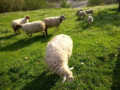 AgroAnuncios es - Venta ovejas  Agricultura y ganadería