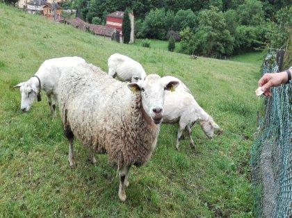 AgroAnuncios es - Corderos para carne  Corderos para carne